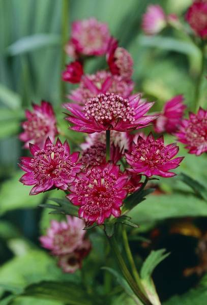 Astrantia Photograph - Great Masterwort 'gill Richardson' by Adrian Thomas