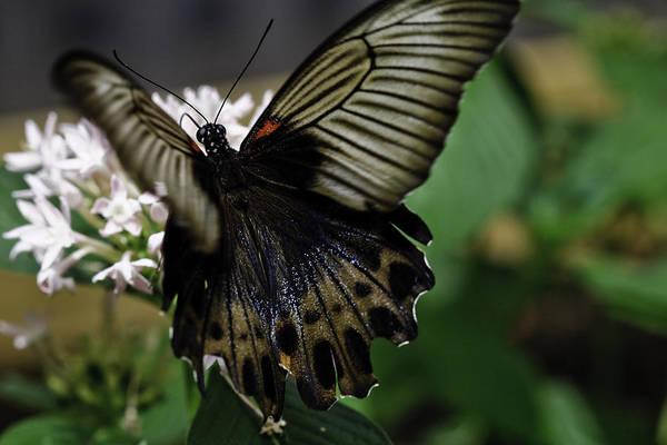Photograph - Great Mormon Butterfly by Perla Copernik