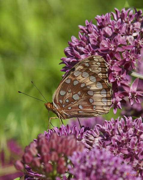 Great Spangled Fritillary Din194 Art Print