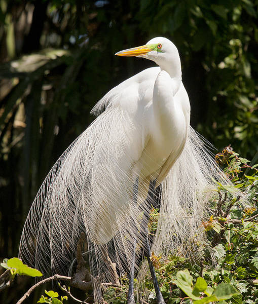Photograph - Great White Egret 2 by Rick Hartigan