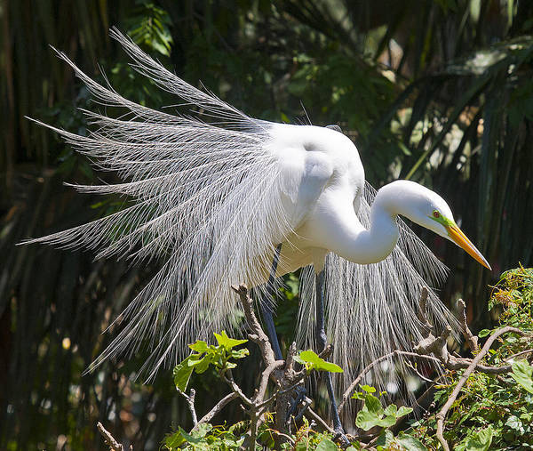 Photograph - Great White Egret by Rick Hartigan