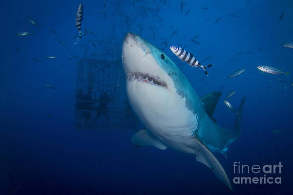 Photograph - Great White Shark And Pilot Fish by Todd Winner