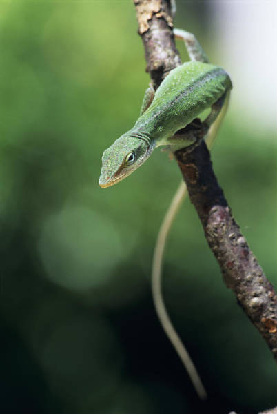 Green Anole Photograph - Green Anole by David Aubrey Photo Library
