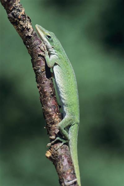 Green Anole Photograph - Green Anole Lizard by David Aubrey