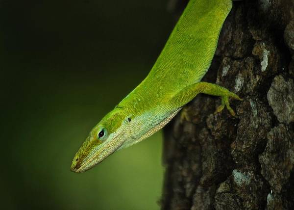Green Anole Photograph - Green Anole_8710_3332 by Michael Peychich