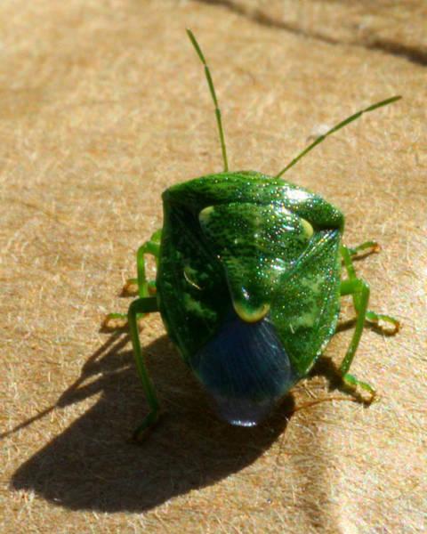 Mark Coleman Wall Art - Photograph - Green Beetle Back by Mark J Seefeldt