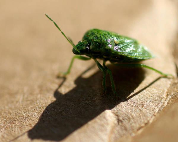 Mark Coleman Wall Art - Photograph - Green Beetle Front by Mark J Seefeldt
