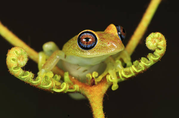 Photograph - Green Bright-eyed Frog Boophis Viridis by Thomas Marent