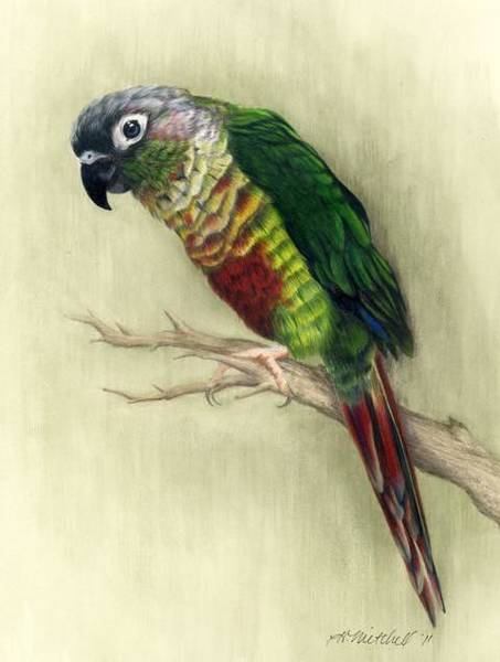 Green Parrot Drawing - Green Cheeked Conure Parrot by Heather Mitchell