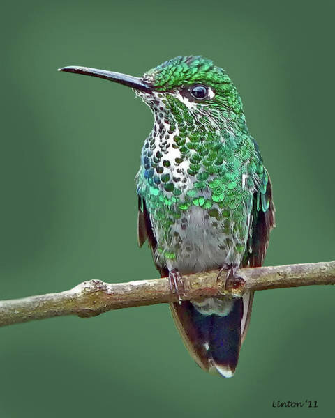 Photograph - Green-crowned Brilliant Hummingbird by Larry Linton