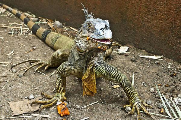 Photograph - Green Iguana I by Heiko Koehrer-Wagner