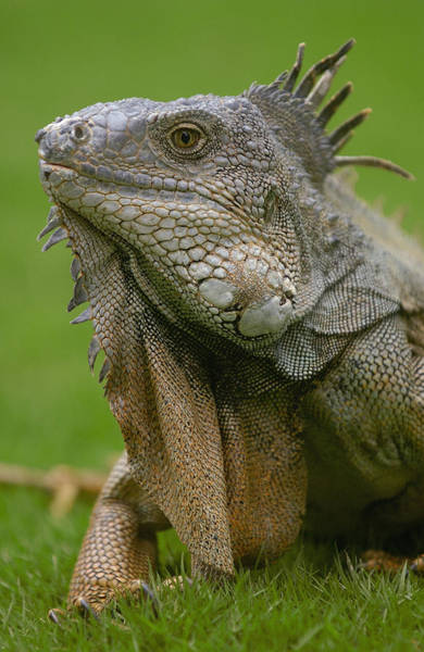 Iguanidae Photograph - Green Iguana Iguana Iguana Portrait by Pete Oxford