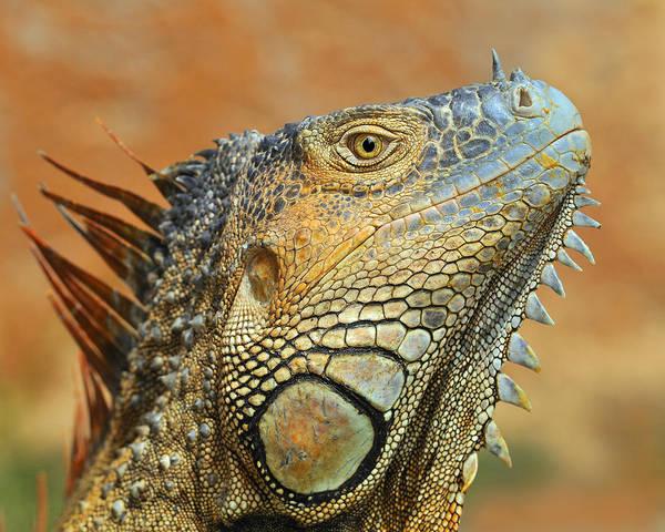 Photograph - Green Iguana by Tony Beck