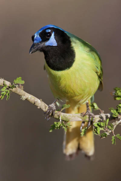 Photograph - Green Jay 1 by D Robert Franz