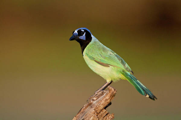 Photograph - Green Jay 2 by D Robert Franz