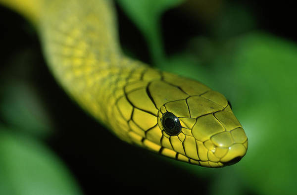 Photograph - Green Mamba Dendroaspis Viridis Close by Ingo Arndt