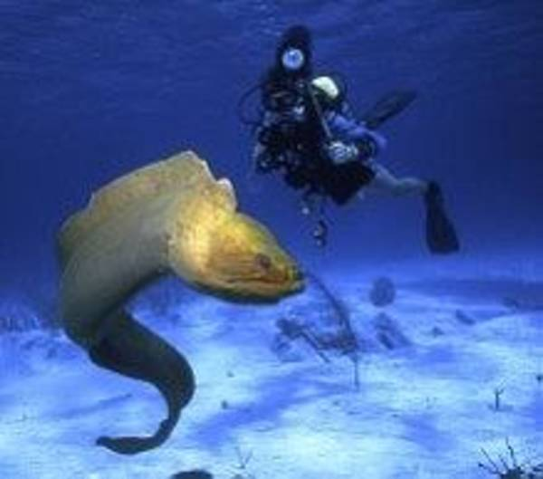 Photograph - Green Moray Eel And Photographer by Don Kreuter