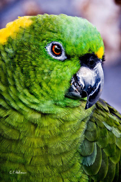Photograph - Green Parrot by Christopher Holmes