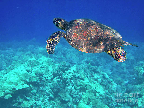 Photograph - Green Sea Turtle Over Blue by Bette Phelan