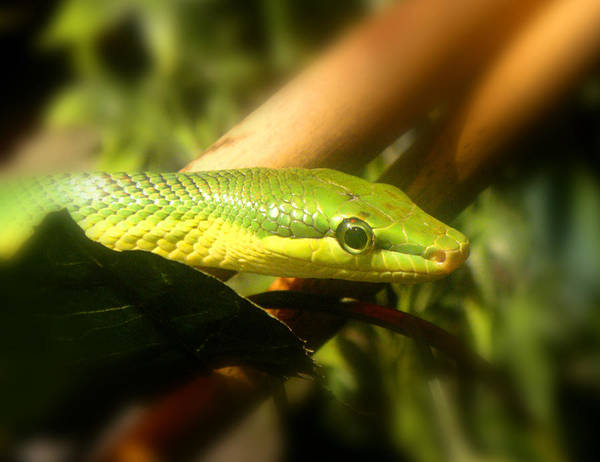 Photograph - Green Snake by Roberto Alamino