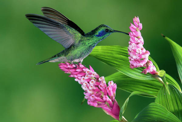 Colibri Photograph - Green Violet-ear Colibri Thalassinus by Michael & Patricia Fogden
