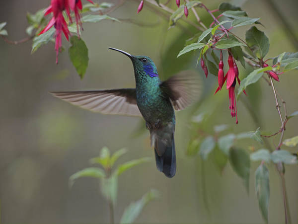 Colibri Photograph - Green Violet Ear Hummingbird Foraging by Tim Fitzharris