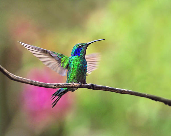 Colibri Photograph - Green Violetear In The Garden by Tony Beck