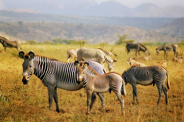Photograph - Grevy's Zebras by Belinda Greb