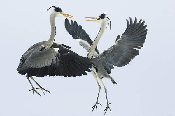 Photograph - Grey Heron Ardea Cinerea Pair Fighting by Konrad Wothe