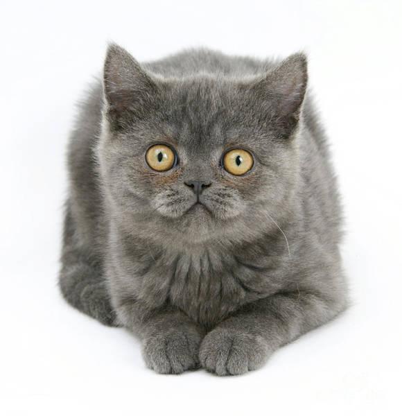 Photograph - Grey Kitten by Mark Taylor