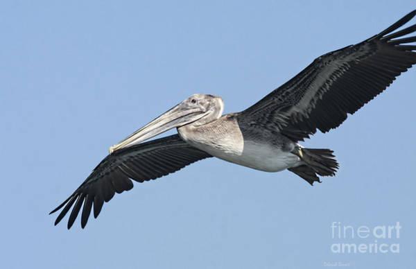 Photograph - Grey Pelican by Deborah Benoit