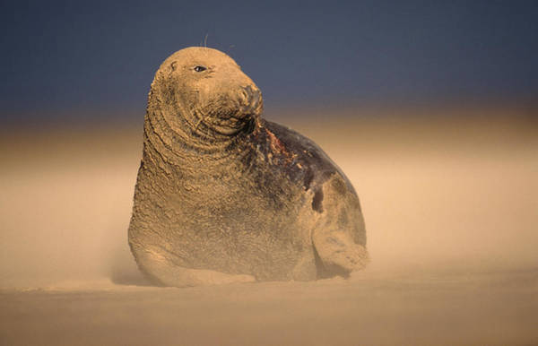 Wall Art - Photograph - Grey Seal (halichoerus Grypus) Bull In Sand Storm On The Lincolnshire Coast by Nature Picture Library