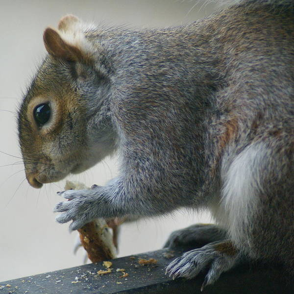 Photograph - Grey Squirrel Dining Out by Ben Upham III