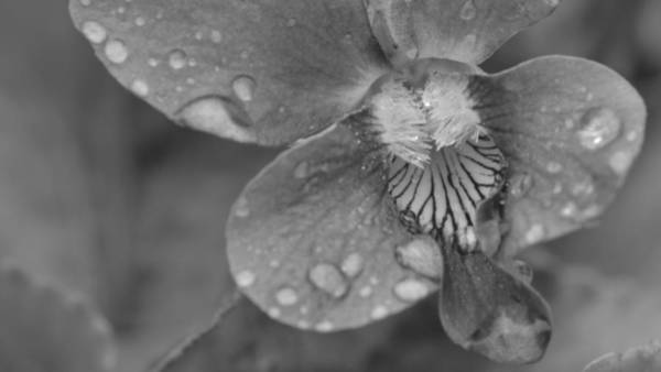 Photograph - Grey Violet by JD Grimes