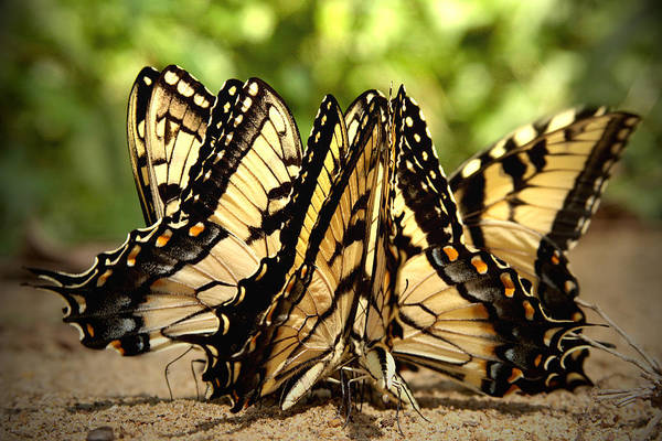 Photograph - Group Of Butterflies On Sand by Emanuel Tanjala