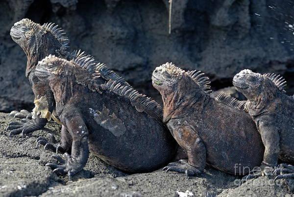 Ugliness Photograph - Group Of Marine Iguana Lying On Rock by Sami Sarkis