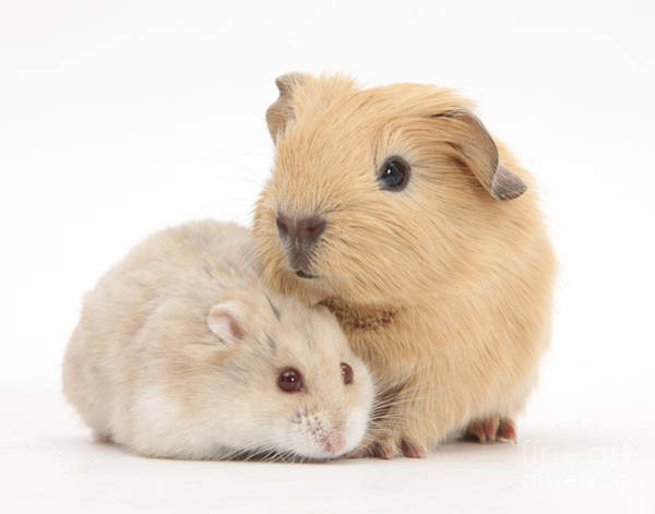Golden Hamster Photograph - Guinea Pig And Hamster by Mark Taylor