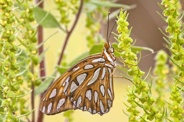 Gulf Fritillary Wall Art - Photograph - Gulf Fritillary Butterfly  by Bonnie Barry