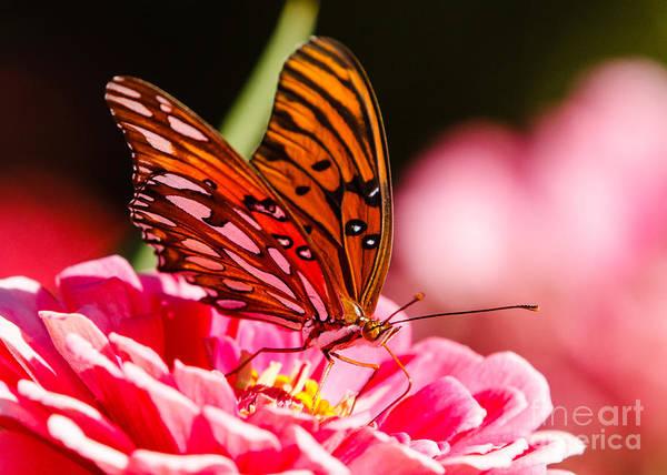 Gulf Fritillary Wall Art - Photograph - Gulf Fritillary Butterfly by Carl Jackson