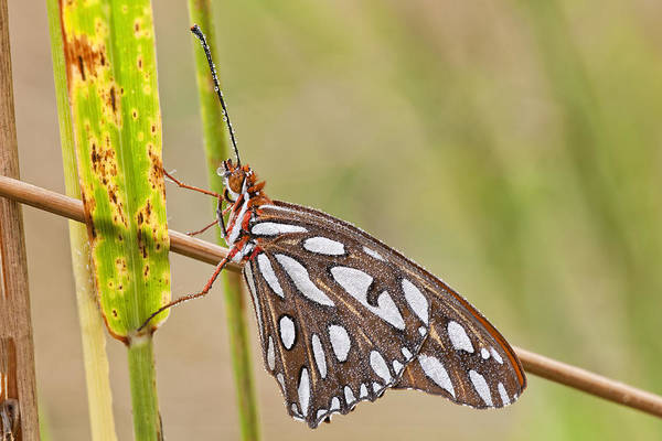 Gulf Fritillary Wall Art - Photograph - Gulf Fritillary Butterfly Glistening With Dewdrops by Bonnie Barry