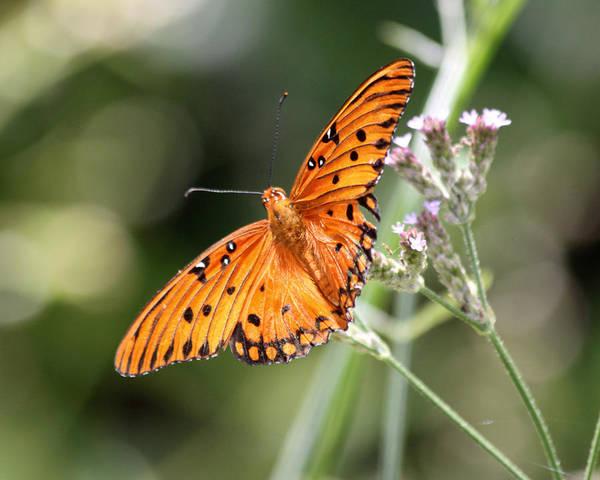 Gulf Fritillary Wall Art - Photograph - Gulf Fritillary Butterfly by Lauri Novak