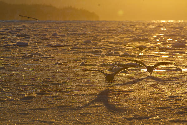 Wall Art - Photograph - Gulls Fishing In Ice by Tim Grams