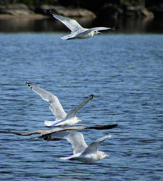Photograph - Gulls In Flight by Scott Hovind