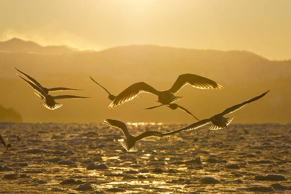 Wall Art - Photograph - Gulls In Golden Light by Tim Grams