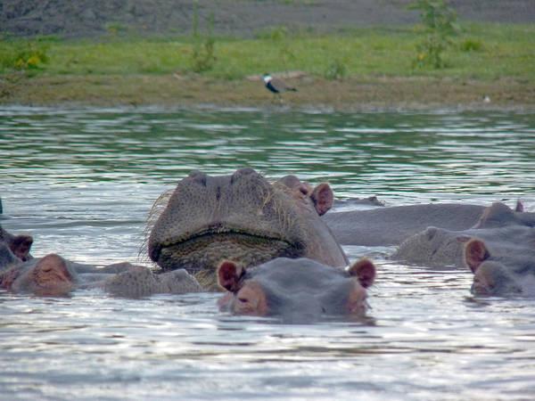 Photograph - Hairy Hippo by Tony Murtagh