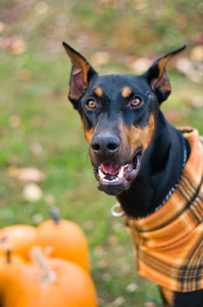 Wall Art - Photograph - Halloween Dobie by Melissa  Riggs
