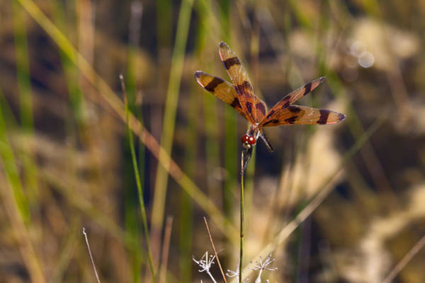 Photograph - Halloween Pennant Dragonfly by Ed Gleichman