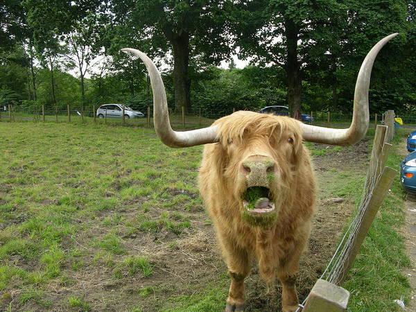 Photograph - Hamish Highland Bull by Keith Stokes