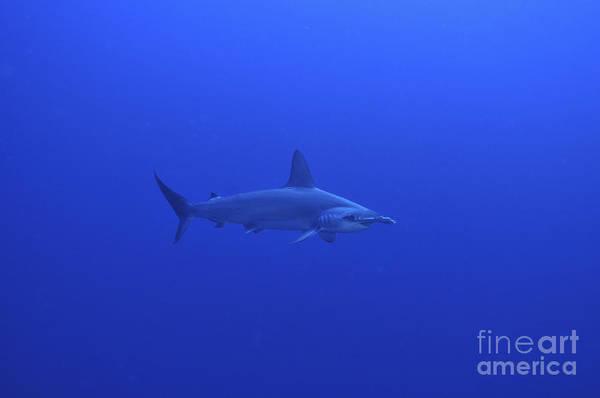 Hammerhead Photograph - Hammerhead Shark, Christmas Island by Mathieu Meur
