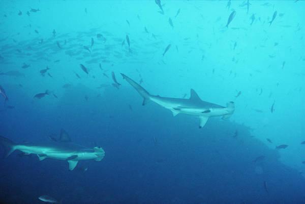 Hammerhead Photograph - Hammerhead Sharks, Cocos Islands by Joe Stancampiano